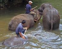 Les hommes baignent des éléphants en rivière Images stock