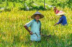 Les hommes indonésiens moissonnent son paddy image stock