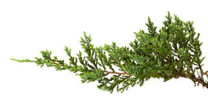 Les horizontalis de juniperus part ou des feuilles de genévriers de rampement d'isolement sur le fond blanc photographie stock libre de droits