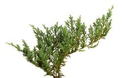Les horizontalis de juniperus part ou des feuilles de genévriers de rampement d'isolement sur le fond blanc image libre de droits