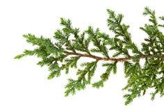 Les horizontalis de juniperus part ou des feuilles de genévriers de rampement d'isolement sur le fond blanc photo stock
