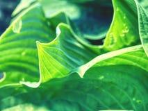 Les Hostas sont les plantes vivaces herbacées s'élevant des rhizomes ou des stolons Image stock