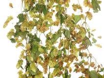 Les houblon plantent la vigne tortillée d'isolement sur le fond blanc Images libres de droits