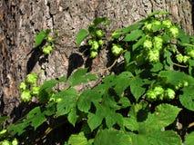 Les houblon sauvages balancent après des troncs d'arbre, lupulus de Humulus Photos stock