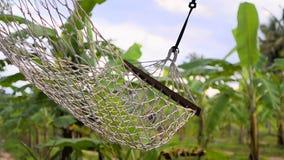 Les huches balancent dans des plantations de banane banque de vidéos