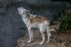 Les hurlements d'Alaska de loup de toundra photo stock
