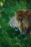 Les hurlements de lion, vue étroite photo stock