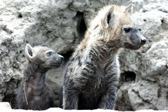 Les hyènes repérées sortent du repaire Photographie stock