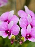 Les hybrides d'orchidée de Dendrobium est les rayures blanches et roses Photos stock