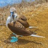 Les idiots aux pieds bleus étreignent, Galapagos, Equateur photographie stock