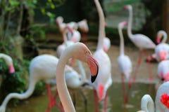Les images des flamants au zoo en Thaïlande, Asie Image stock