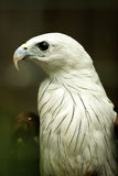 Cerf-volant Eagle de Brahmini. Photo stock