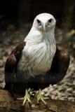 Cerf-volant Eagle de Brahmini. Image stock