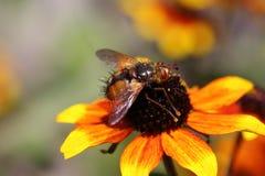 Les insectes de Hoverfly ont habituellement des palpeurs plus courts que des abeilles ou des guêpes images stock