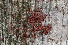 Les insectes rouges se dorent au soleil sur l'écorce d'arbre Chaud-soldats d'automne pour des scarabées Image libre de droits