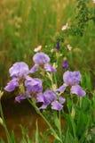 Les iris pourprés ont couvert la rosée Images stock