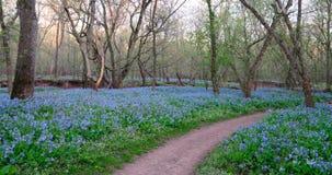 Les jacinthes des bois couvrent le chemin proche moulu de saleté photos libres de droits
