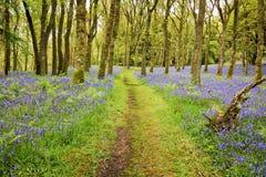 Les jacinthes des bois tapissent et chemin Photos libres de droits