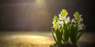 Les jacinthes ont baigné au soleil - ressort faisant du jardinage - le panorama. Images libres de droits