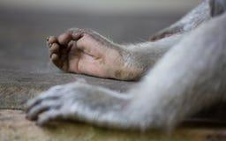 Les jambes du singe Image libre de droits