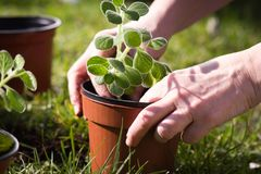 Les jardiniers remet à beauté de transplantation de petites fleurs avec le sol ; s Photographie stock libre de droits