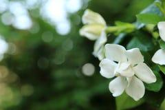 Les jasminoides blancs de gardénia fleurit le jasmin de cap avec la baisse de l'eau de fraîcheur sur le pétale photos stock