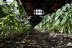 Les jeunes arbres des légumes se développent en serre chaude photographie stock