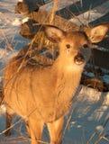 Les jeunes cerfs communs image stock