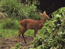 Les jeunes cerfs communs Photos libres de droits