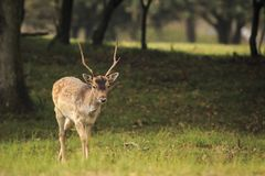 Les jeunes cerfs communs affrichés s'opposent, Dama de Dama, marchant dans une forêt foncée photo libre de droits