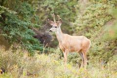 Les jeunes cerfs communs de mule s'opposent avec des andouillers de velours dans le taiga Images stock