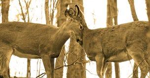 Les jeunes cerfs communs sent l'amour Images libres de droits