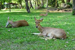 Les jeunes cerfs communs sur le champ d'herbe images libres de droits