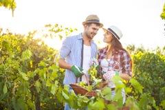 Les jeunes couples heureux dans le vignoble pendant la récolte assaisonnent Photo libre de droits