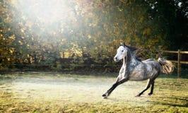 Les jeunes courses belles de cheval d'étalon galopent sur le beau fond de pâturage Image libre de droits
