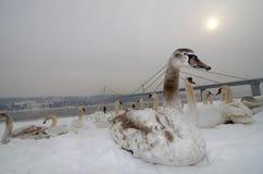 Les jeunes cygnes se reposent sur la neige par la rivière photo libre de droits