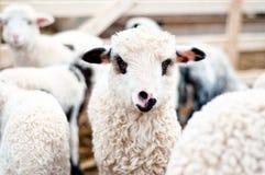 Les jeunes de sourire ont repéré l'agneau regardant l'appareil-photo tout en mangeant Photos libres de droits