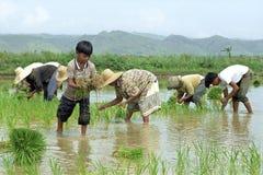 Les jeunes et vieux Philippins travaillant dans un riz mettent en place Images libres de droits