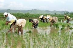 Les jeunes et vieux Philippins travaillant dans un riz mettent en place photos libres de droits