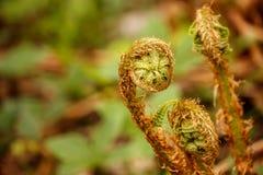 Les jeunes feuilles d'une fougère dans la forêt Photographie stock libre de droits