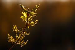 Les jeunes feuilles de l'arbre de sorbe au coucher du soleil Photographie stock