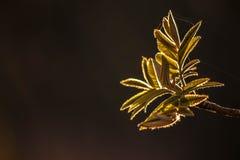 Les jeunes feuilles de l'arbre de sorbe au coucher du soleil Photos libres de droits