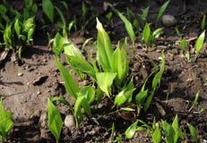 Les jeunes feuilles de Ramsons, ursinum d'allium, en premier ressort, ursinum d'allium est un monocot herbacé à bulbe et éternel, image libre de droits