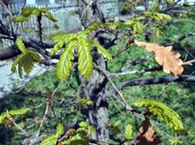 Les jeunes feuilles du chêne Photos libres de droits