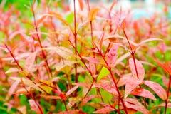 les jeunes feuilles rouges de Christina supérieure décorent l'usine dans le jardin Photos stock