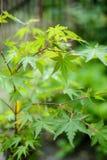 Les jeunes feuilles vertes de l'arbre d'érable japonais Profondeur de zone Photographie stock libre de droits