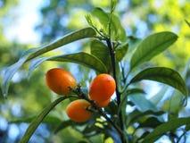 Les jeunes fruits oranges de Fortunella sur une branche verte, ont également appelé Kumquat photos stock