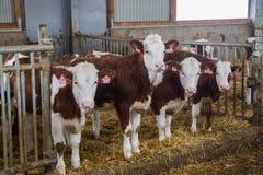 Les jeunes génisses de l'élevage de Monbeliards dans le bétail gratuit calent Image stock