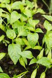 Les jeunes jeunes plantes de poivre avec de l'eau laisse tomber l'élevage dans le sol Photographie stock