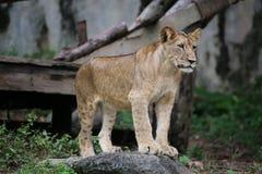 Les jeunes lions Photo libre de droits